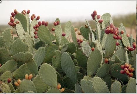 """وزارة """"أخنوش""""تطمئن المغاربة بخصوص حشرة كوشنيل التي تهاجم الصبار"""