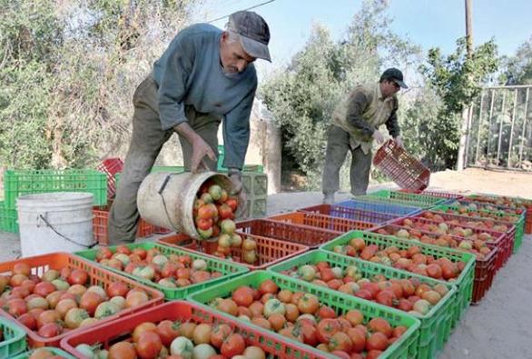 خبر سيئ …أسعار الطماطم مرشحة للارتفاع أكثر وهذا هو السبب