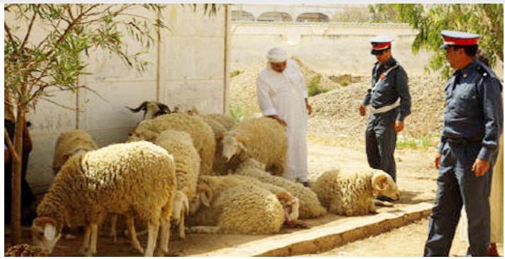 توقيف شخصين بتهمة سرقة الماشية بضواحي أصيلة