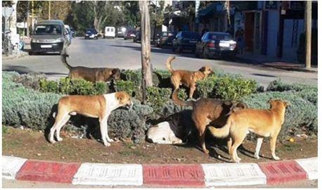 الكلاب الضالة تغزو أحياء صفرو والجماعة خارجة التغطية